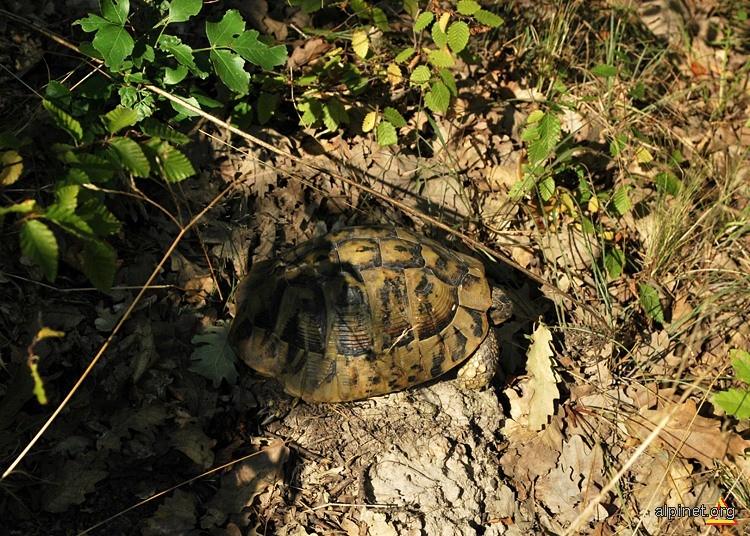 Broasca ţestoasă