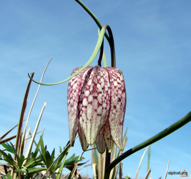 Fritillaria meleagris - Laleaua pestriţa, Bibilică, Ciubotă