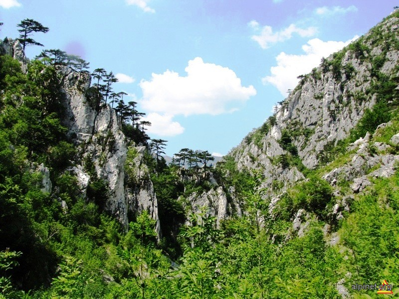 Pinus nigra var. banatica