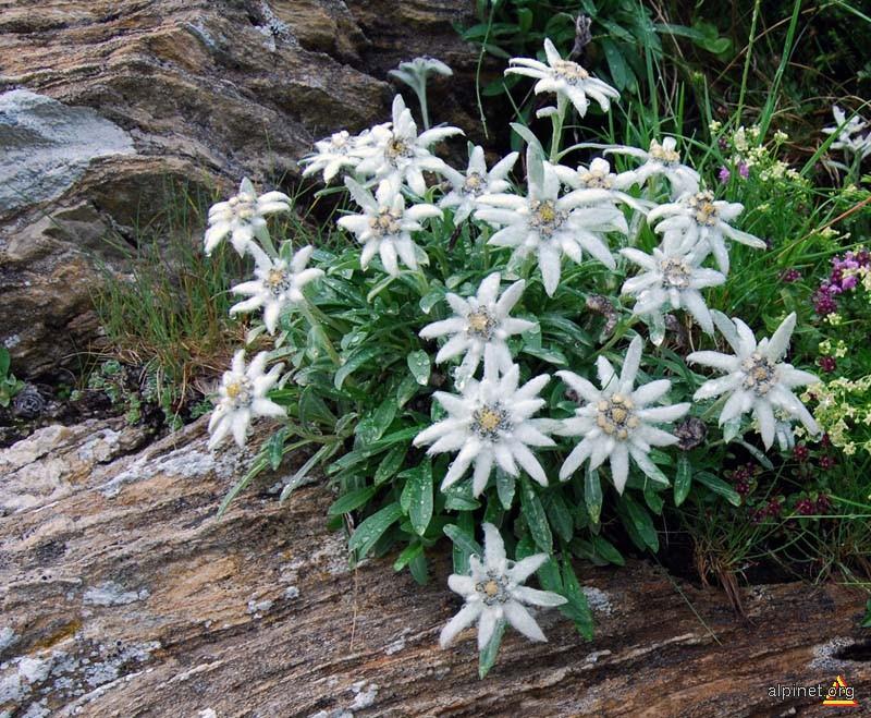 Flori de colţ