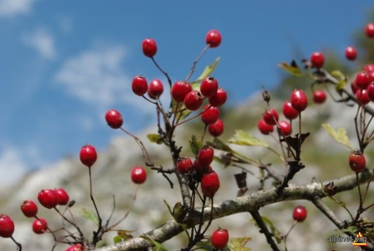Planta Inimii