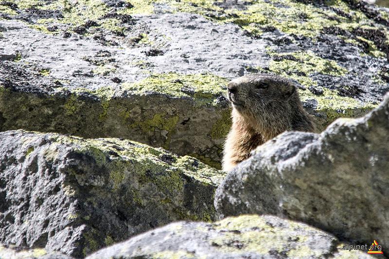 o marmota