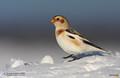 Pasarea-omatului, Snow Bunting (Plectrophenax nivalis)