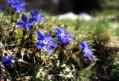 Stropi de albastru-Gentiene