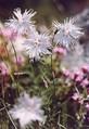 Garofite, Piatra Craiului