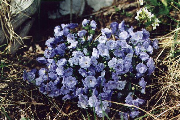 Floricele din Alpi