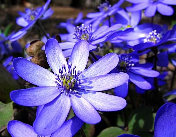 Simfonia primăverii - albastru