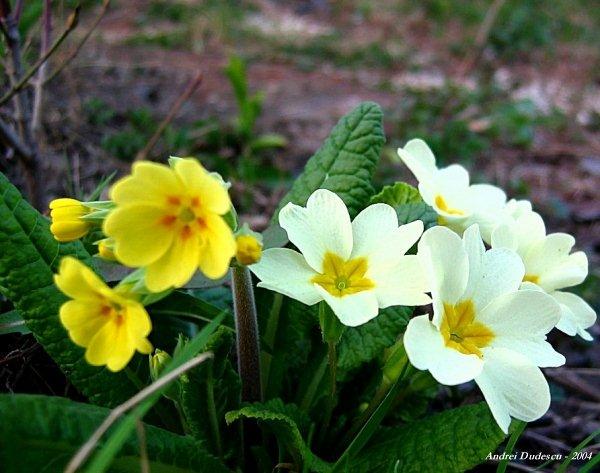 Flori de primavara (VI)