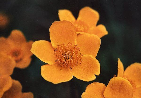 Irezistibil de galbenă