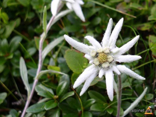 Floare de Colţ