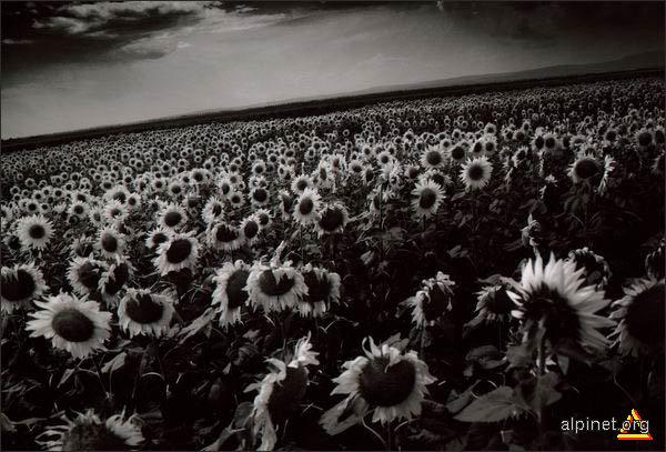 Panică în floarea soarelui