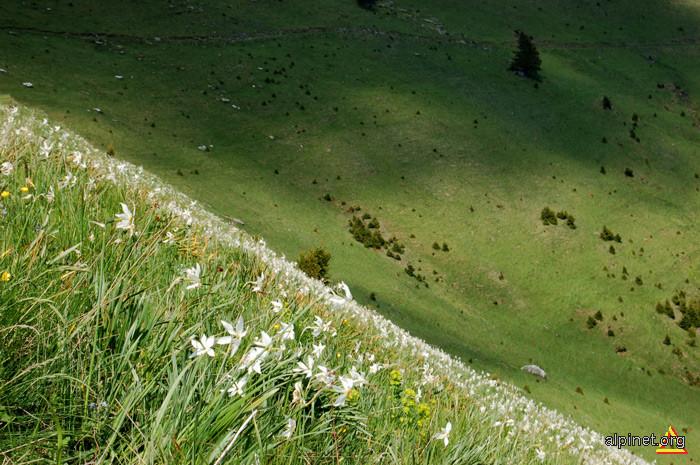 Poiana Narciselor din Muntele Saca