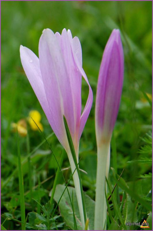 Siluete - violete