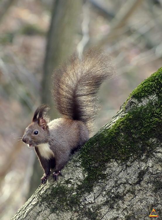 O veveriţă agresivă