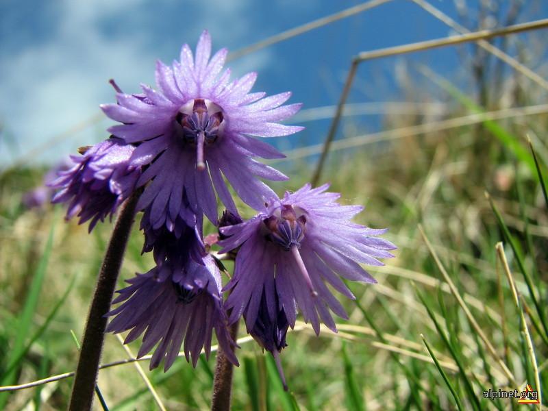 Florile muntelui