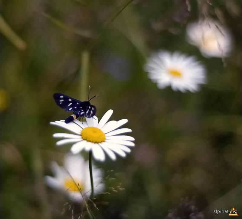 fluturele şi margareta