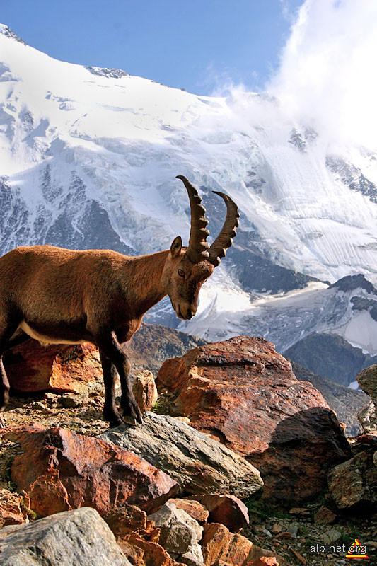 Le capra du Alps