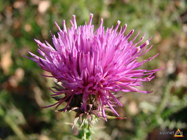 Cirsium lanceolatum - Pălămidă lanceolată