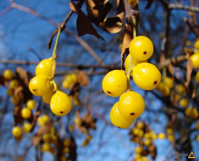 Loranthus europaeus- Vâsc de stejar