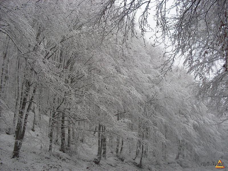 Pădurea de argint