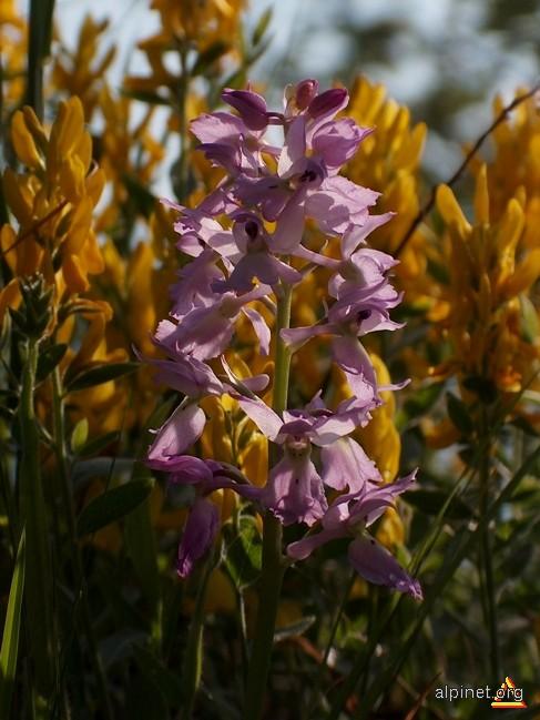 Orchis mascula (L.) L. ssp. signifera (Vest) Soó - poroinic