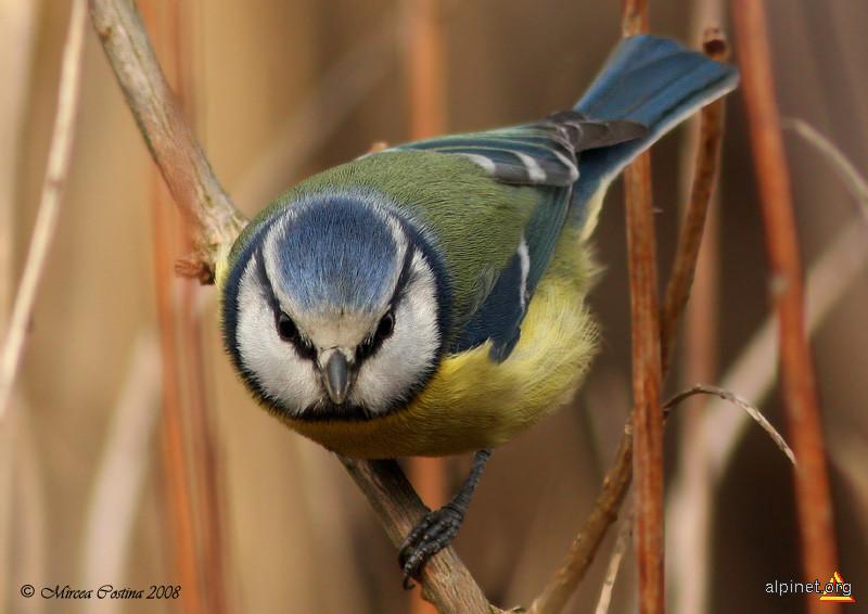 Piţigoi albastru (Parus caeruleus)