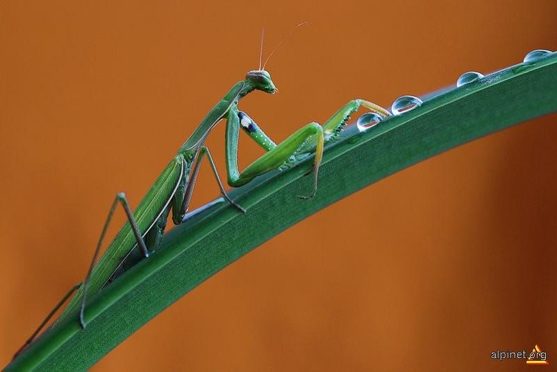 Mantis Religiosa (1)