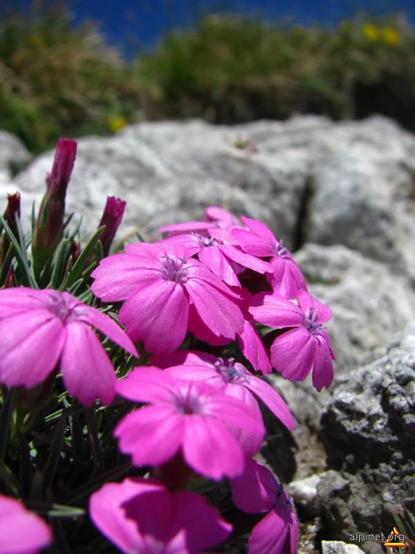 Flori pe calcar