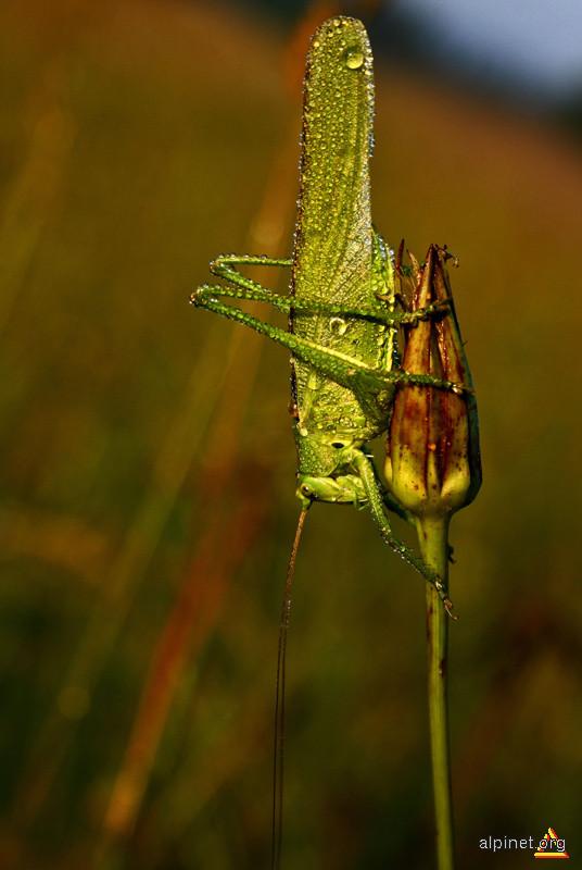 Swarovsky bug