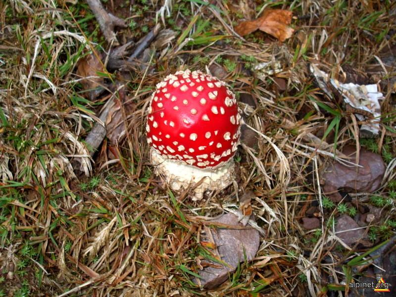Ciupercuţă