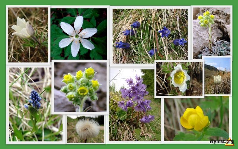 Flora Bucegi 5