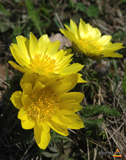 Ruscuţa de primăvară