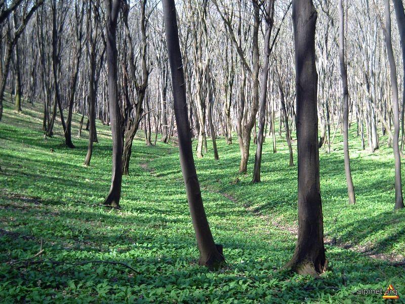 A înverzit de ieri pădurea, la glasul blândei primăveri...