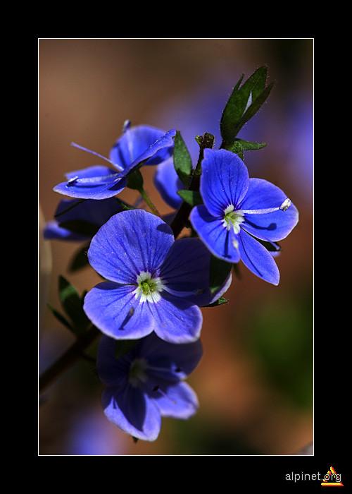 albastru delicat