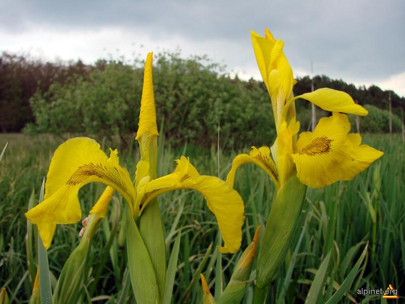 Iris pseudacorus - Stânjenel galben