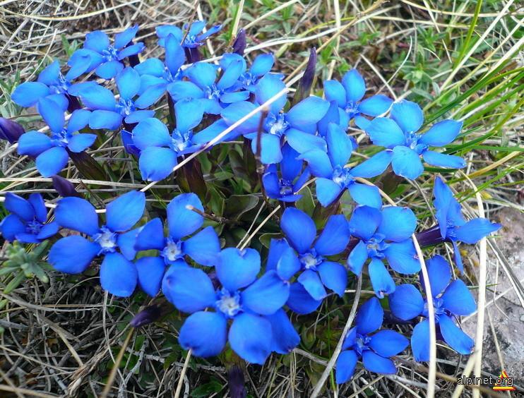 Flori de pe Arjana
