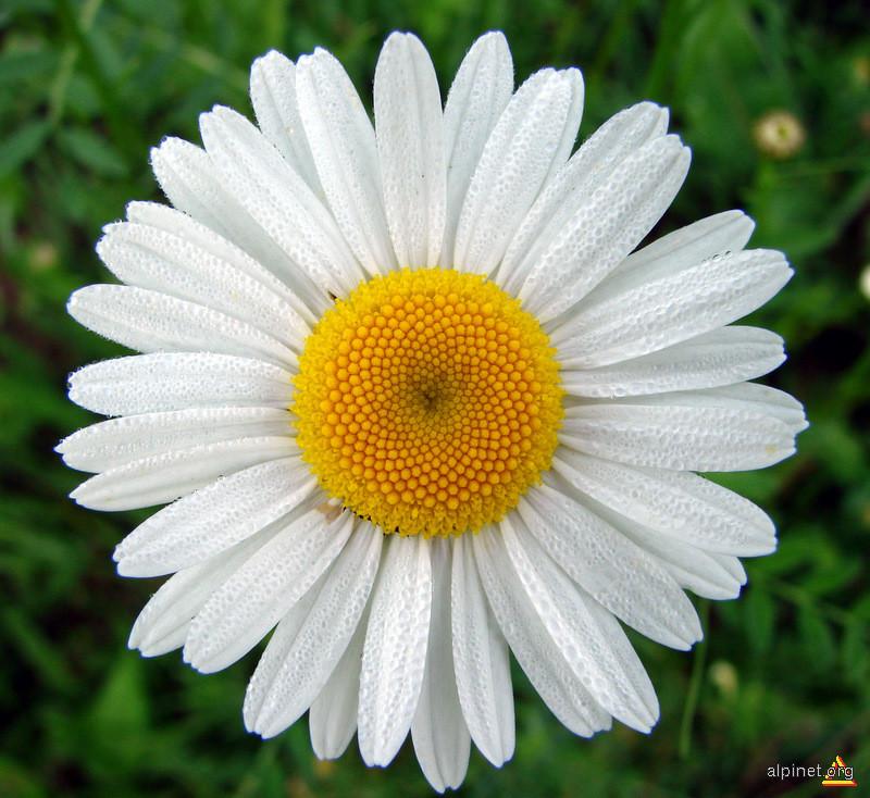 Chrysanthemum rotundifolium - Margaretă