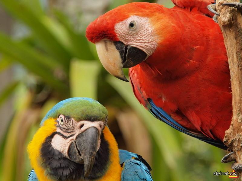 Papagali macaw