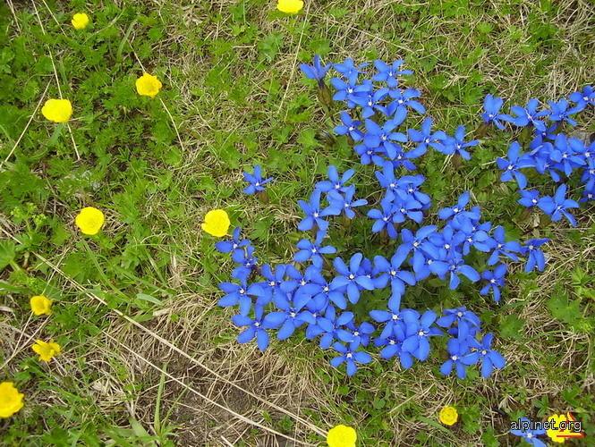 Albastru de Fratosteanu