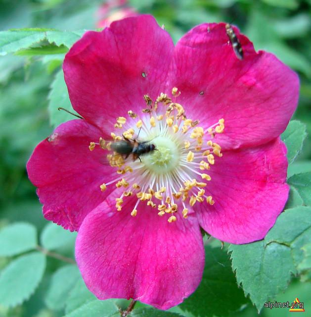 Rosa gallica - Trandafir sălbatic