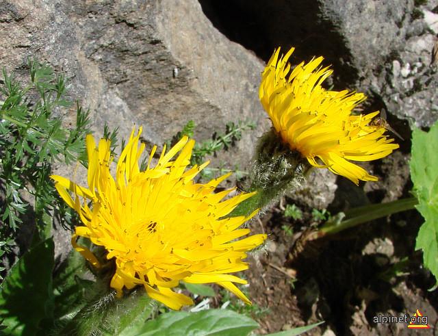 Hieracium alpinum - Vulturică