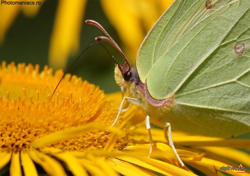 Fluture in Ciucas