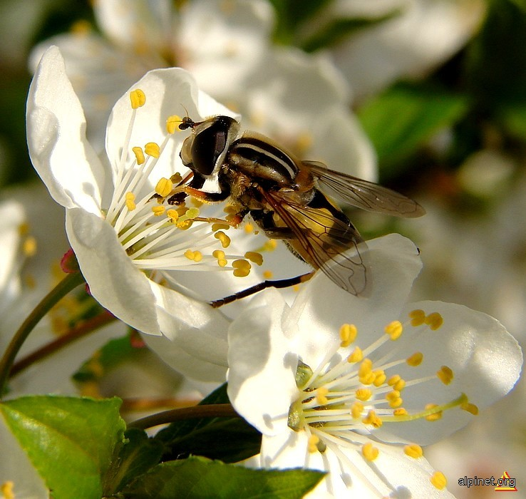 La polen de păducel