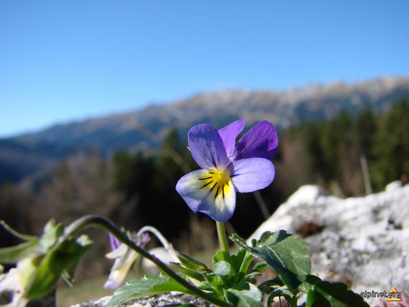 Viola tricolor - Trei fraţi pătaţi