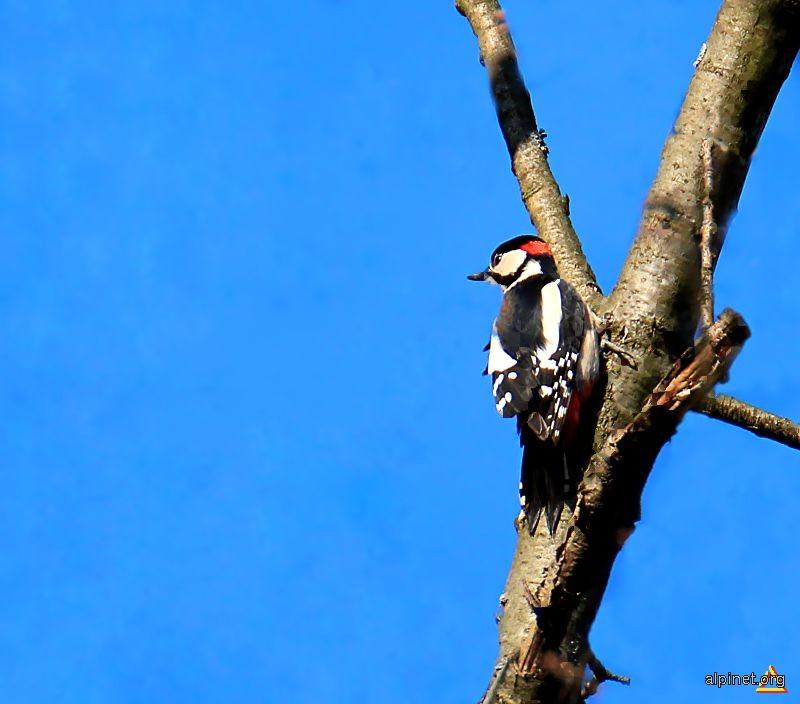 Woodys woodpeckeris... de fapt ciocanitoarea Woody