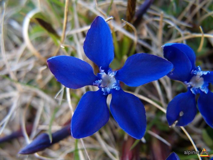 Florile Cernei