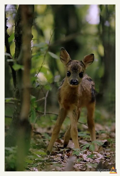 Micul Bambi