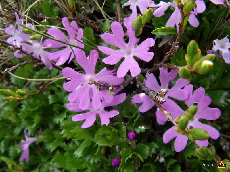 Flori din Godeanu