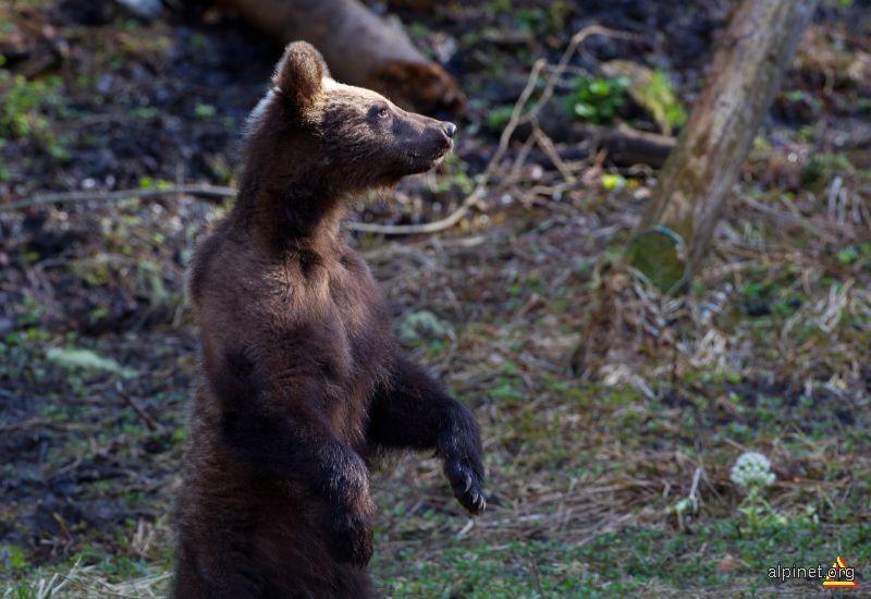 Ursuletul din padure