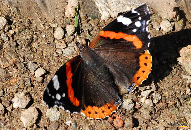 Fluture de Bârcaciu